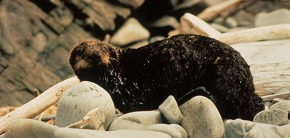 An oil-covered sea otter in Prince William Sound following the 1989 Exxon Valdez oil spill. ©ARLIS Reference (CC BY-SA 2.0)